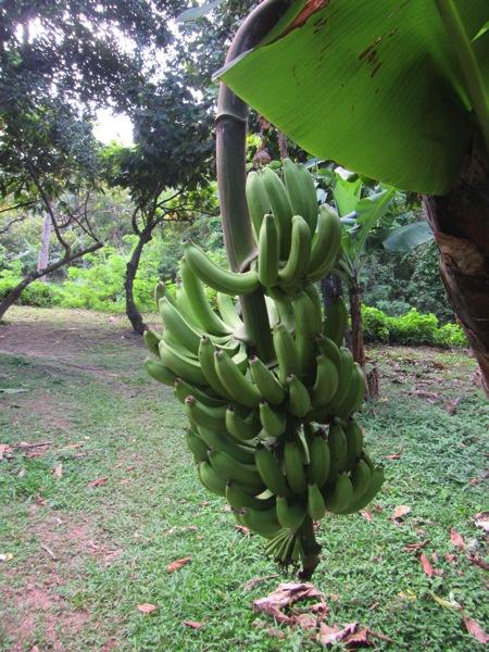 Grenada Bananas