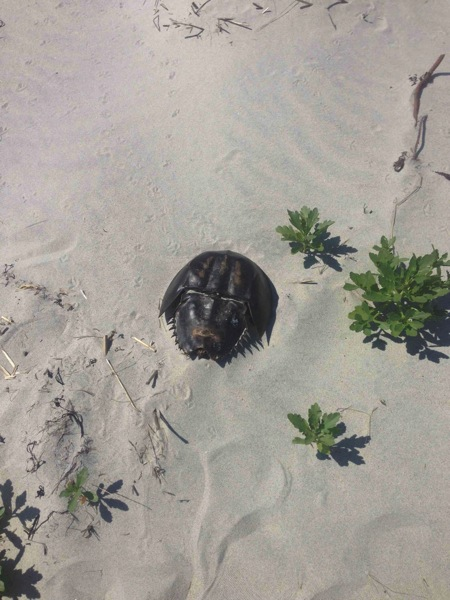 Arty  Horseshoe Crab