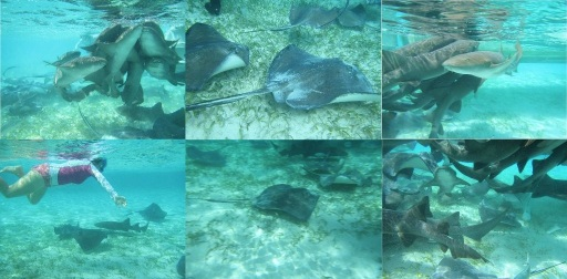 Shark  Sting Ray Feeding Frenzy