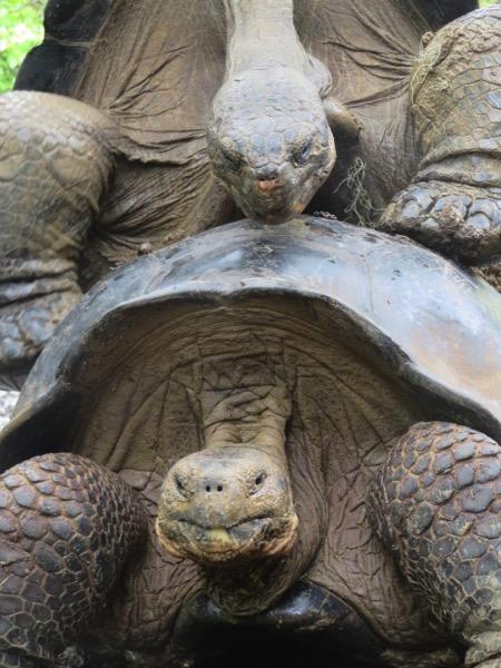 Tortoise humping