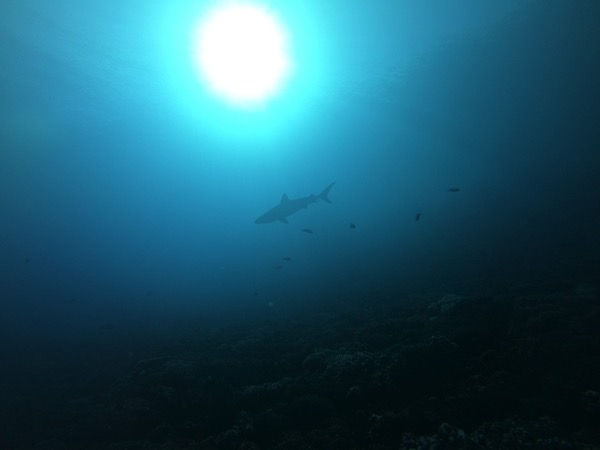 Diving  Night shark