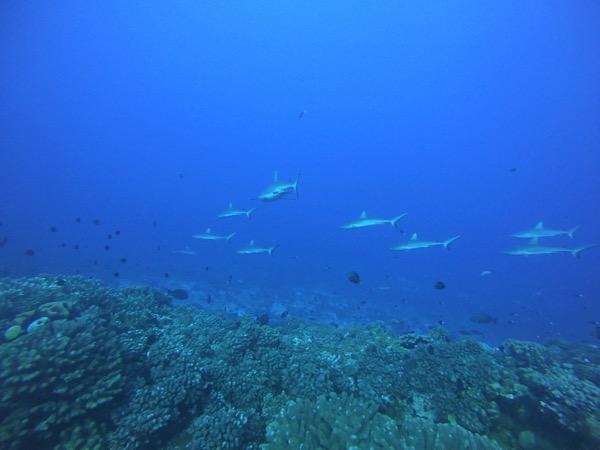 Diving  Sharks